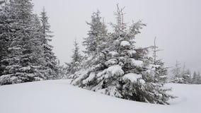 Primer del árbol de abeto del invierno almacen de video