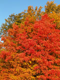 Primer del árbol de arce colorido del otoño Imagenes de archivo