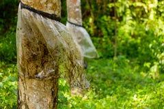 Primer del árbol de goma Imagen de archivo