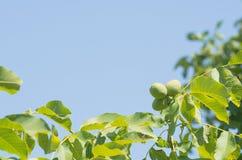 Primer del árbol de nuez Imagen de archivo