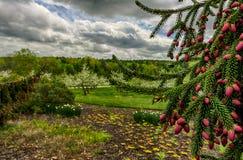 Primer del árbol de pino con los manzanos en fondo Imagenes de archivo