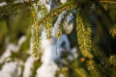 Primer del árbol de pino con nieve en una Navidad soleada del frío del día de invierno Fotos de archivo libres de regalías