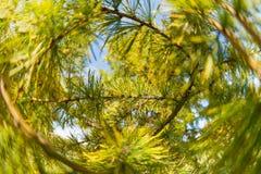 Primer del árbol de pino de agujas y de ramas Fotos de archivo libres de regalías