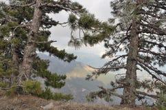 Primer del árbol de pino de dos árboles en el borde de la montaña Fotos de archivo