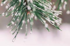 Primer del árbol de pino nevoso del invierno con helada y nieve La Navidad, invierno, primavera, fondo de la Feliz Año Nuevo, cop Imágenes de archivo libres de regalías