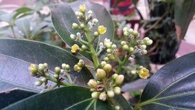 Primer del árbol del canela en flor Imagen de archivo