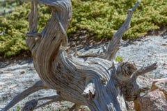 Primer del árbol viejo torcido torcido curvado en un parque nacional, los E.E.U.U. Raíces desnudas desnudas Fotos de archivo