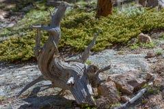 Primer del árbol viejo torcido torcido curvado en un parque nacional, los E.E.U.U. Raíces desnudas desnudas Fotografía de archivo libre de regalías