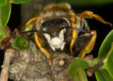 Primer del abejorro. Foto de archivo libre de regalías