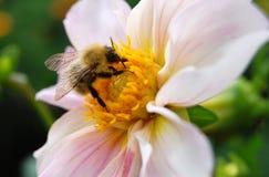 Primer del abejorro en la flor Fotos de archivo libres de regalías