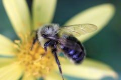 Primer del abejorro en la flor del aster fotografía de archivo