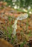 Primer del agárico de mosca en suelo del bosque Foto de archivo