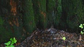 Primer del agua de manatial como cae y gotea en musgo verde metrajes