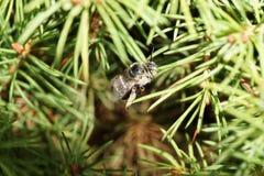 Primer del albigen caucásico y blanco grisáceo mullido de Amegilla de la abeja Foto de archivo libre de regalías