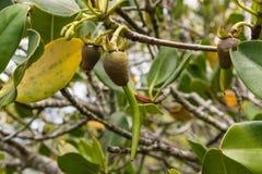 Primer del almácigo del árbol del mangle Imagenes de archivo