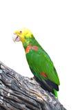 Primer del Amazonas dirigido amarillo Foto de archivo libre de regalías