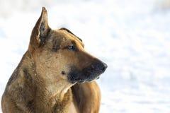 Primer del animal doméstico del perro amarillo en la nieve blanca al aire libre Fotografía de archivo