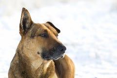 Primer del animal doméstico del perro amarillo en la nieve blanca al aire libre Fotografía de archivo libre de regalías