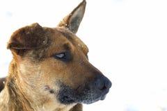 Primer del animal doméstico del perro amarillo en la nieve blanca al aire libre Foto de archivo libre de regalías