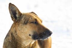 Primer del animal doméstico del perro amarillo en la nieve blanca al aire libre Imagen de archivo libre de regalías