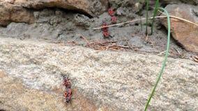 Primer del apterus rojo de Pyrrhocoris de los insectos de la primavera que se sienta en una cerca de piedra en primavera en un d? metrajes