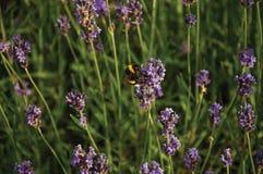 Primer del arbusto con las flores y las abejas coloreadas en un día soleado en Weesp Fotografía de archivo
