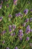 Primer del arbusto con las flores y las abejas coloreadas en un día soleado en Weesp Fotografía de archivo libre de regalías