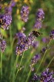Primer del arbusto con las flores y las abejas coloreadas en un día soleado en Weesp Foto de archivo libre de regalías
