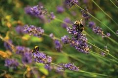 Primer del arbusto con las flores y las abejas coloreadas en un día soleado en Weesp Imagenes de archivo
