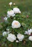 Primer del arbusto de rosas rosáceo blanco floreciente fotos de archivo