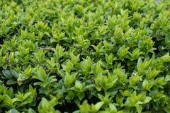Primer del arbusto verde fotografía de archivo