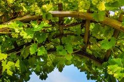 Primer del arco con las vides y las uvas Foto de archivo