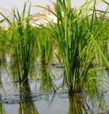 Primer del arroz de arroz Fotografía de archivo libre de regalías