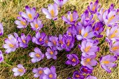Primer del azafrán desde arriba, fondo púrpura de las flores imagen de archivo libre de regalías