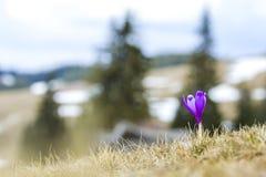 Primer del azafrán violeta brillante maravillosamente floreciente que coloca p Fotos de archivo