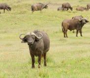 Primer del búfalo del cabo Foto de archivo