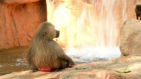 Primer del babuino de Hamadryas que se sienta solamente en compuesto rocoso almacen de video