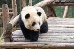 Primer del bebé de la panda Imágenes de archivo libres de regalías
