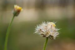 Primer del bloomingj de la flor de la hierba Fotografía de archivo libre de regalías