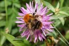 Primer del Bombus caucásico amarillo-negro altísimo del abejorro Fotografía de archivo libre de regalías