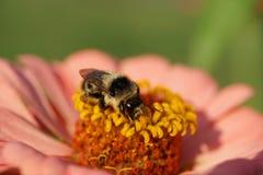Primer del Bombus rayado blanco y negro caucásico s del abejorro Fotografía de archivo libre de regalías