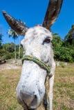 Primer del burro Foto de archivo libre de regalías