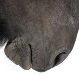 Primer del caballo belga imagen de archivo