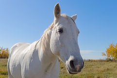 Primer del caballo blanco Imágenes de archivo libres de regalías
