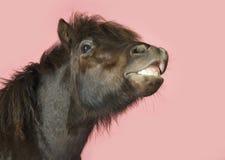 Primer del caballo del gruñido imagen de archivo