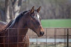Primer del caballo del marrón oscuro Imagen de archivo