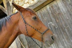 Primer del caballo en granja Fotografía de archivo