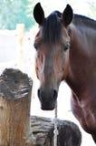 Primer del caballo marrón Fotos de archivo
