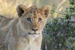 Primer del cachorro de león Foto de archivo libre de regalías