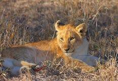 Primer del cachorro de león (panthera leo) Fotografía de archivo